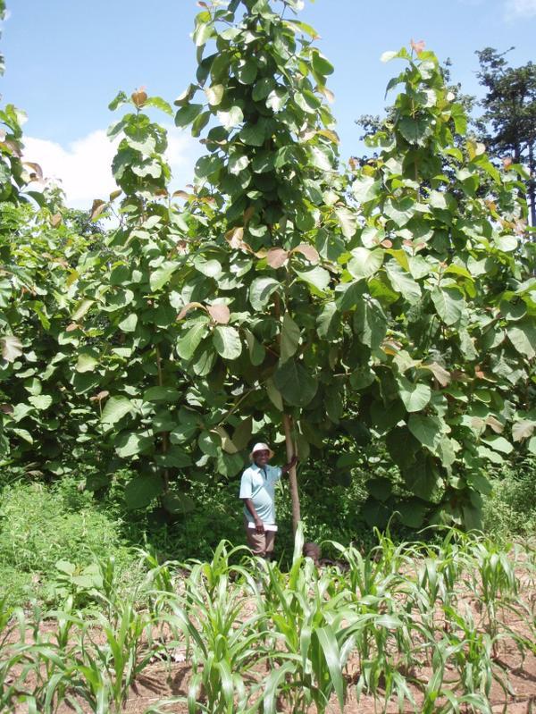 Teakbaum frucht  idw - Bild zu: Früchte und Kosmetika schützen den Tropenwald