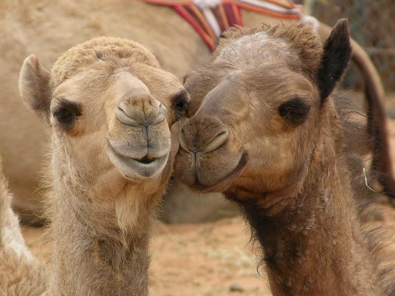 Ο κορωναϊός MERS δε μεταδίδεται μόνο μεταξύ ζώων, αλλά και από την καμήλα στον άνθρωπο.