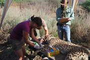 Blood collection of a free-ranging cheetah on Namibian farmland for stable isotope analyses.