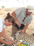Blood collection of a free-ranging cheetah on Namibian farmland and fitting of a GPS collar on the animal. Blood is used for stable isotope analyses,