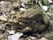 Tetraploid toads (Bufo oblongus) from Turkmenistan in Central Asia: they occur under extreme conditions in semi-deserts and stony deserts as long as temporary water is available.