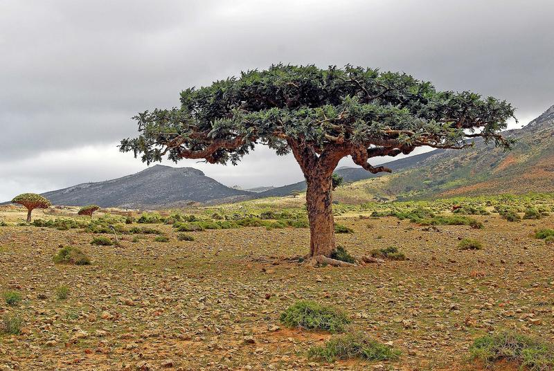 The Frankincense  Tree (Boswellia) originally came from the legendary kingdom of Sheba, which lay in the south of the Arabian Peninsula and in the neighboring Horn of Africa.