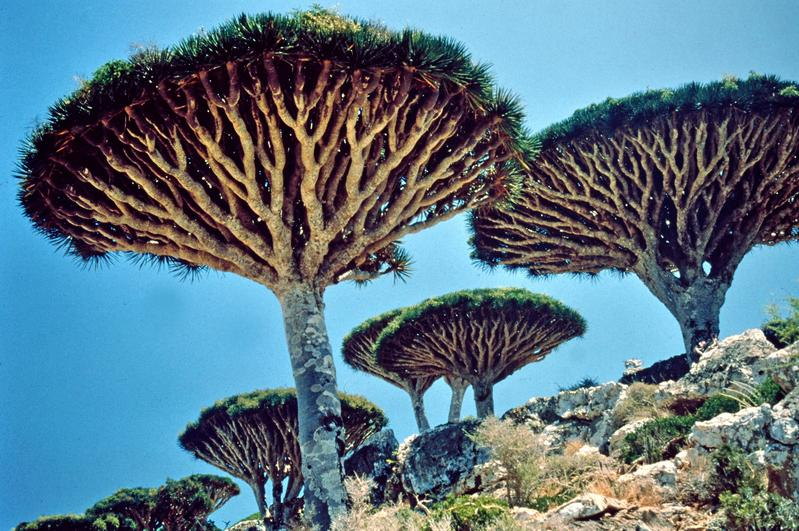Dragon Trees (Dracaena) and other  exotic  plants were found in the kingdom of the Queen of Sheba of  the Bible, also known as Bilquis in the Quran.