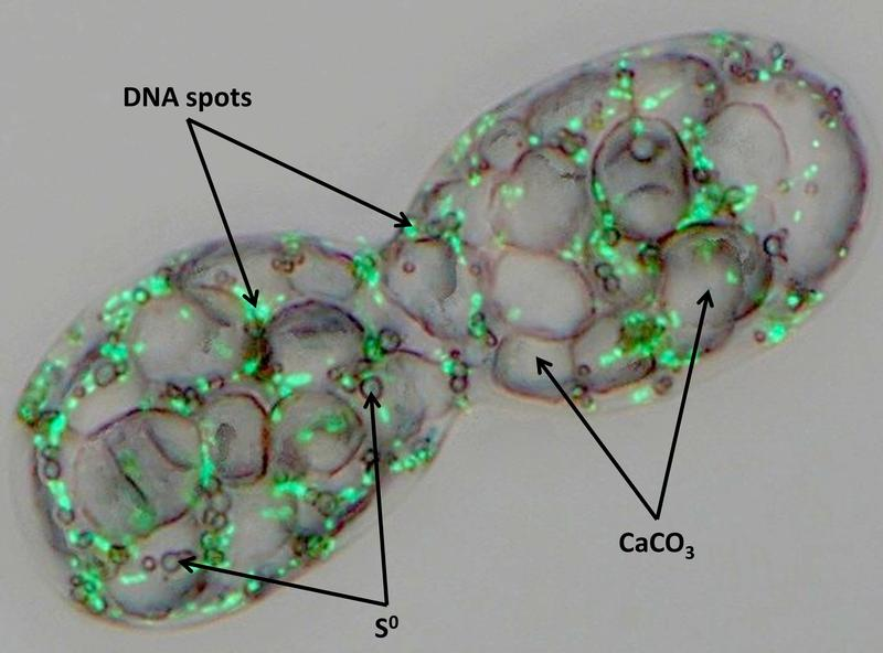 Achromatium oxaliferum containing large calcite bodies, small sulfur droplets and green-fluorescing DNA spots.