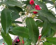 The leaves of the coralberry (Ardisia crenata) contain the natural substance FR900359.