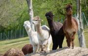 The researchers retrieved the nanobody construction plans from a small blood sample of two Alpacas and used them to program bacteria to produce the nanobodies without further animal involvement.