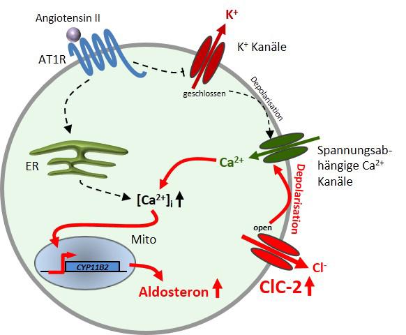 Eine Mutation im Chloridkanal ClC-2 als Ursache für primären Hyperaldosteronismus (PA), siehe komplette Bildunterschrift am Ende des Haupttextes.