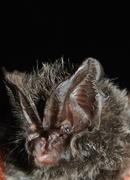 A barbastelle bat with its characteristic bumpy face