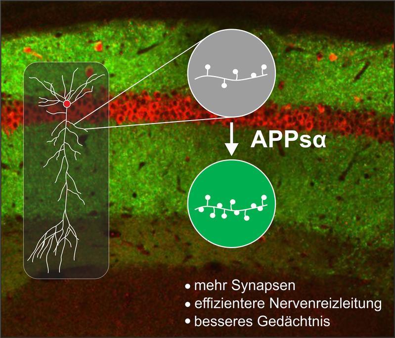 Neuroprotektive Rolle von APPsα (siehe Text)