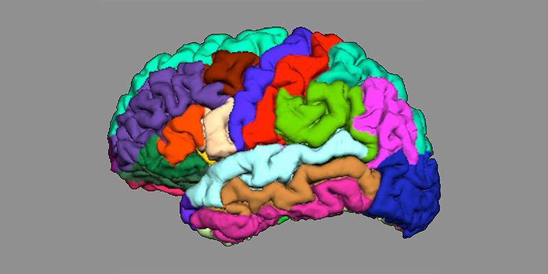 Die Anatomie unseres Gehirns kann Hinweise auf die Entstehung von Psychosen liefern. Vereinfachte Darstellung der kortikalen Faltung in verschiedenen Hirnregionen.