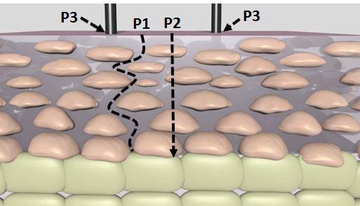Dampf kann über verschiedene Wege in die Haut dringen: durch die Zellen (P1), zwischen den Zellen hindurch (P2) oder über die Haarfolikel (P3).