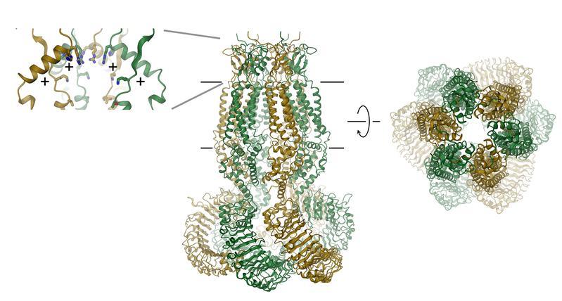 Struktur eines volumenregulierten Chloridkanals (Mitte: Schleifenmodell, rechts: Selektivitätsfilter, links: positiv geladene Aminosäure-Regionen)