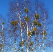 Evergreen Mistletoe attached to a host tree