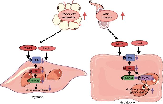 Schematische Darstellung, wie WISP1 die Insulinwirkung in Myotubes und Hepatozyten beeinträchtigt.