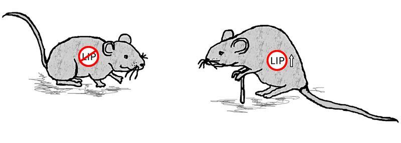 Der Genschalter C/EBPß-LIP steuert den Alterungsprozess. Fehlt LIP, dann verlängert sich die Lebensspanne von Mäusen und erhöht sich die körperliche Fitness im Alter; ohne eine diätische Ernährung.