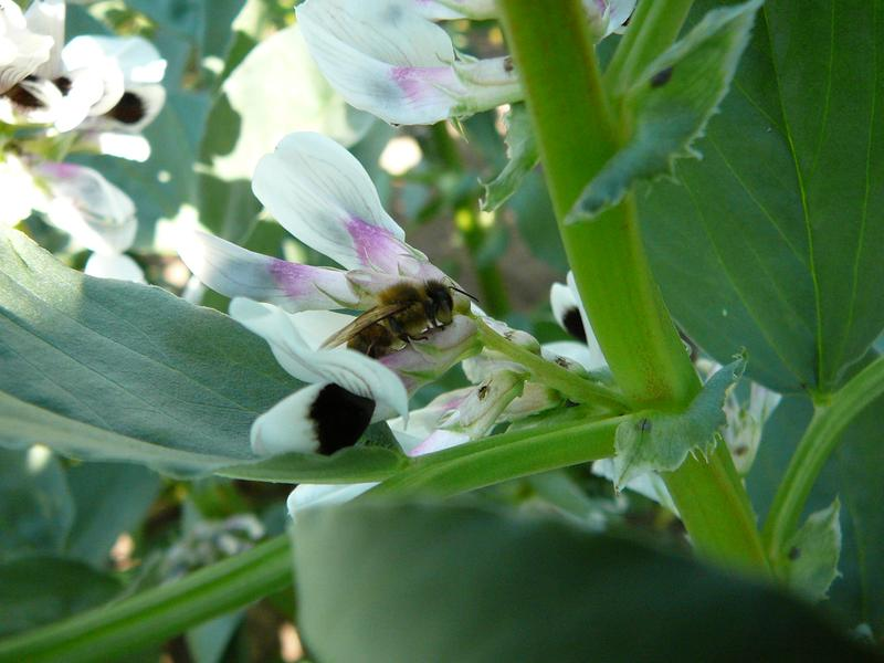 Honigbienen sind Nektarräuber