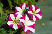 "The stigma of Petunia contains a toxin that stops pollen growth. Pollen in turn has a team of genes that produce antidotes to all toxins except for the toxin produced by the ""self"" stigma."
