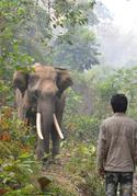 Wild captured elephants in Myanmar spend their freetime roaming nearby forests