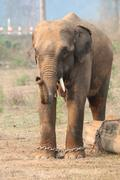 Myanmar timber elephants have better survival chances than zoo elephants