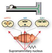 The prefrontal-thalamo-hippocampal circuit is involved when a rat makes a choice of the next trajectory at the upcoming T-junction and the supramammillary nucleus facilitates transfer of information.