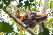 Scientists call for the employment of scientifically sound methods for monitoring orangutan populations.