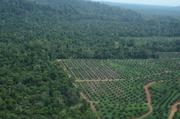 Forests are being converted into oil palm plantations. This is a major threat to orangutans.