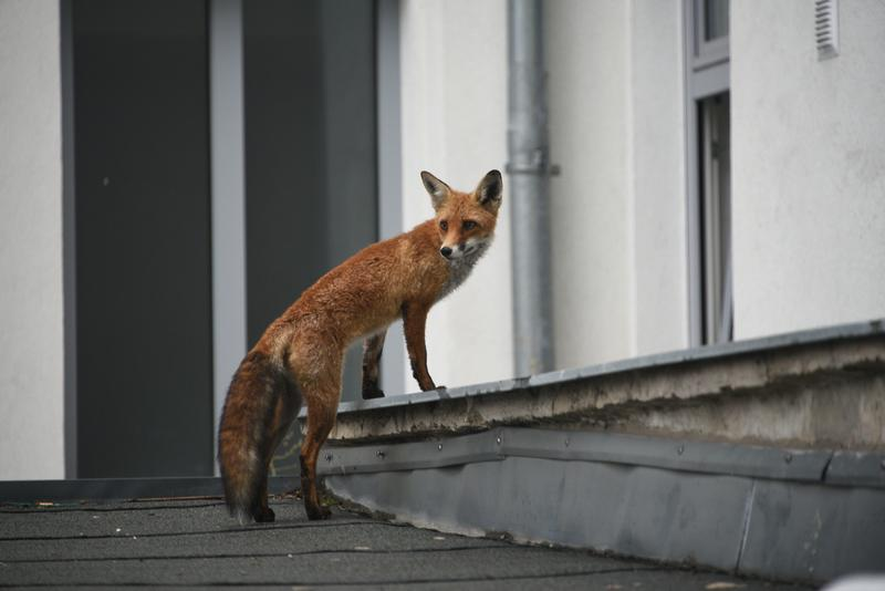 A citizen science Project highlighted that foxes prefer specific city areas and Environments in Vienna.