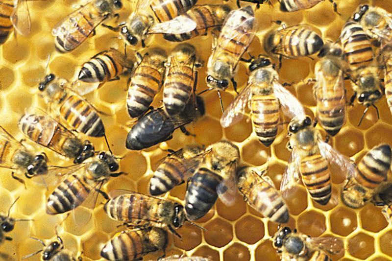 Revolution im Bienenstock: Forscher entdecken Gen, das Bienen zu Sozialparasiten werden lässt