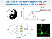 Figure: Yin and Yang in the brain: Opposing functions of PSD-93 and PSD-95 allow normal synapse maturation and thus control the timing of critical periods during early brain development