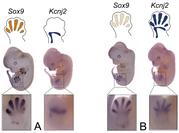 Effect of inversions on gene expression: (A) Gene expression patterns of Sox9 and Kcnj2 in healthy mouse embryo. (B) Inversions can cause a Sox9-like gene expression pattern in Kcnj2.
