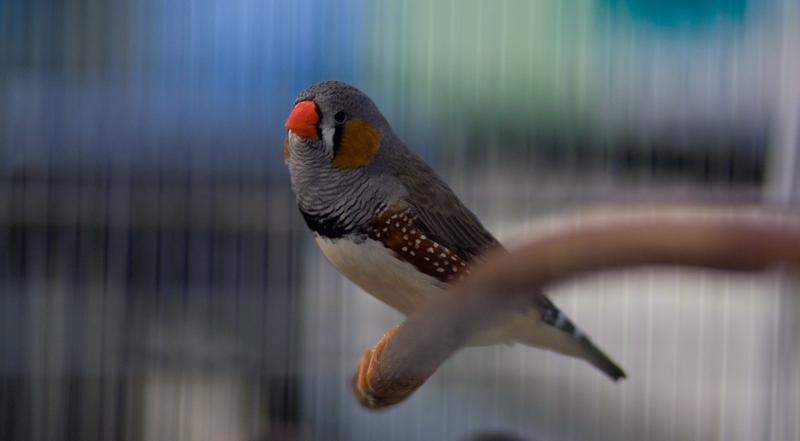 Sleep allows zebra finches to perfectly remember all the good things they learned during the day, and to forget all the things that are not important.