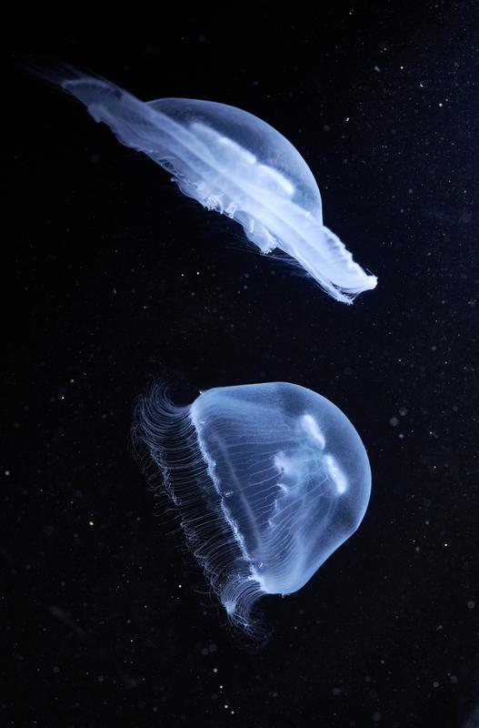 Moon jelly (Aurelia aurita): With their translucent bells, the animals move very efficiently.