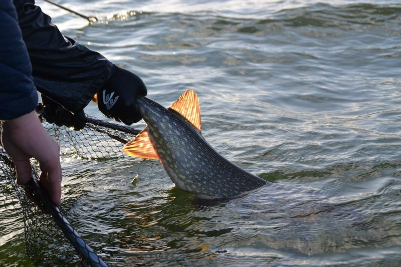 A big pike is released back into the water.