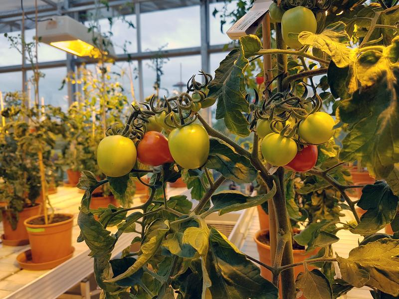 Growing tomatoes for research purposes in the IPB greenhouse.