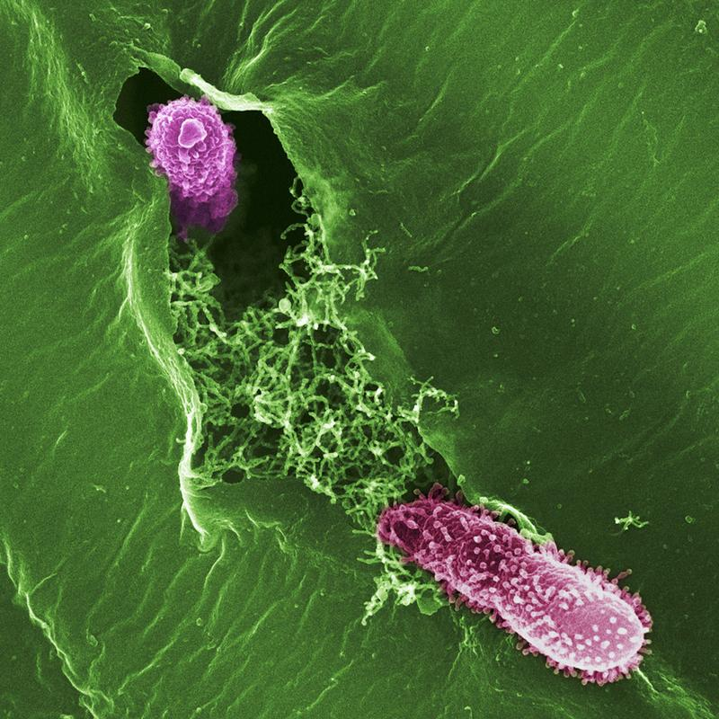 Two Pseudomonas bacteria invading a leaf