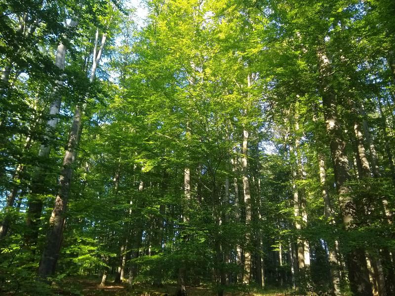 Buchen im Steigerwald