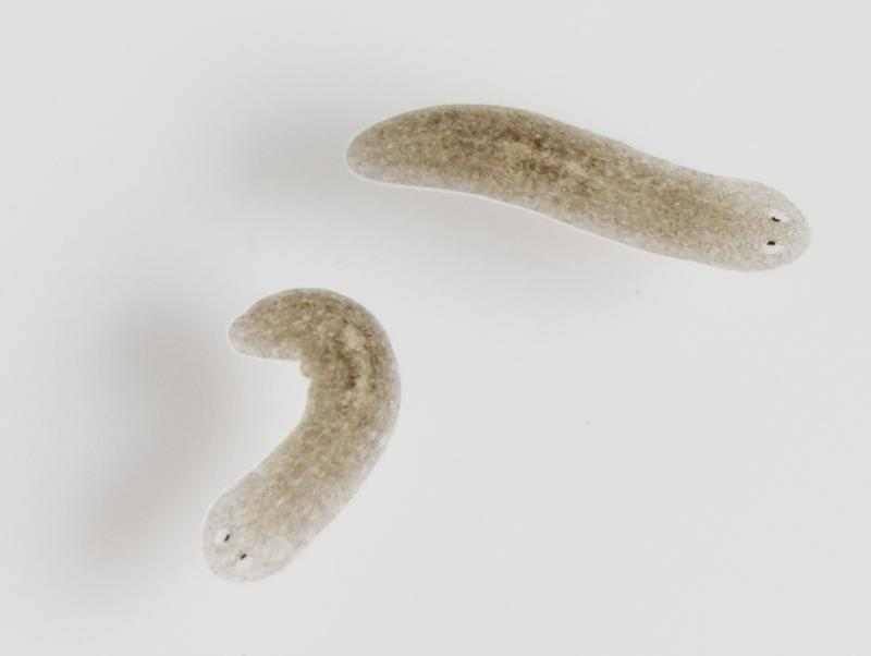 The planarian Schmidtea mediterranea consists of 25% stem cells and are almost immortal. They can maintain their organs forever by regenerating completely and not ageing in the process.