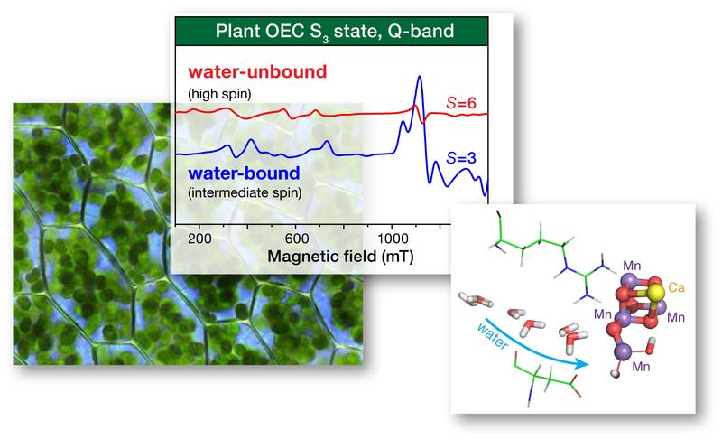 EPR spectroscopy and quantum chemistry probe the water oxidation catalyst of biological photosynthesis