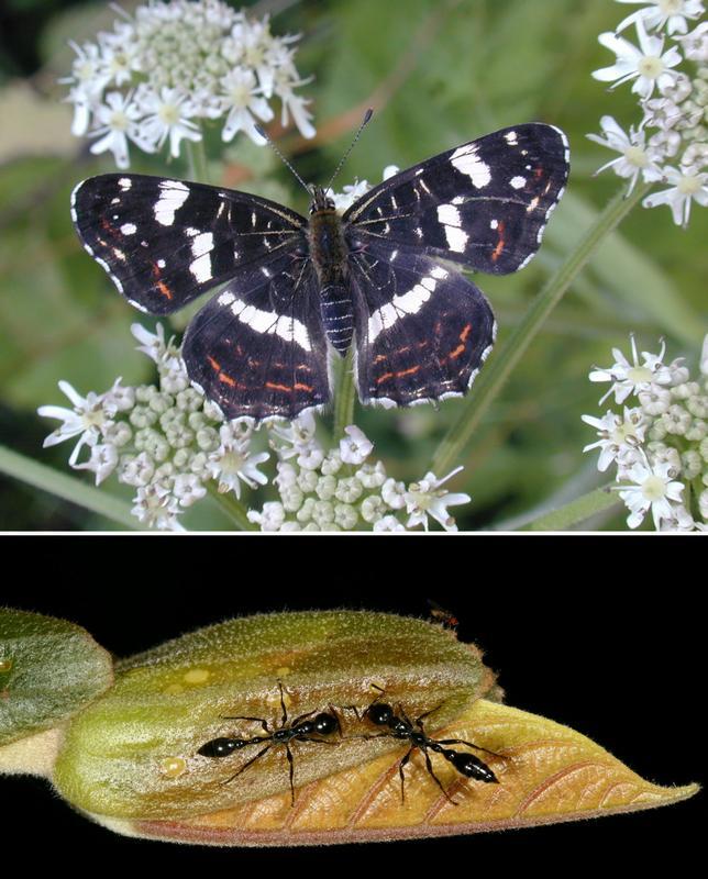 Zwei pflanzen-insekten-beziehungen: ein schmetterling mit dem namen