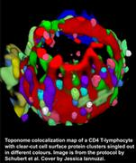 Toponome colocalization map of a CD4 T-lymphocyte with clear-cut cell surface protein clusters singled out in different colours. Image is from the protocol by Schubert et al. Cover by Jessica Iannuzzi.
