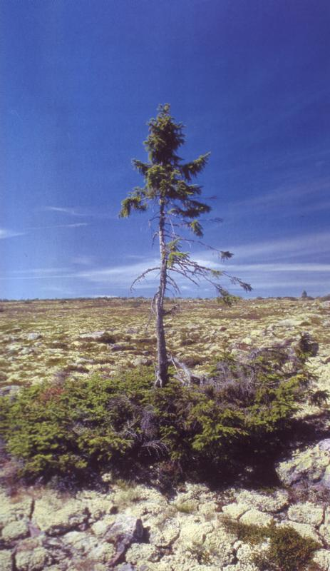 The world's oldest recorded tree is a 9,550 year old spruce in the Dalarna province of Sweden. The spruce tree has shown to be a tenacious survivor that has endured by growing between erect trees and smaller bushes in pace with the dramatic climate changes over time.