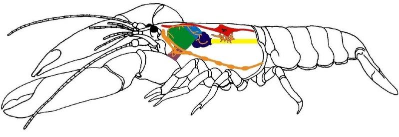 Der schematische Aufbau eines Krebstieres: Nervensystem (orange), Herz ...