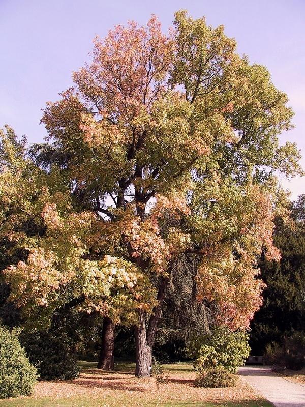 botanischer garten amberbaum ist pflanze des monats. Black Bedroom Furniture Sets. Home Design Ideas