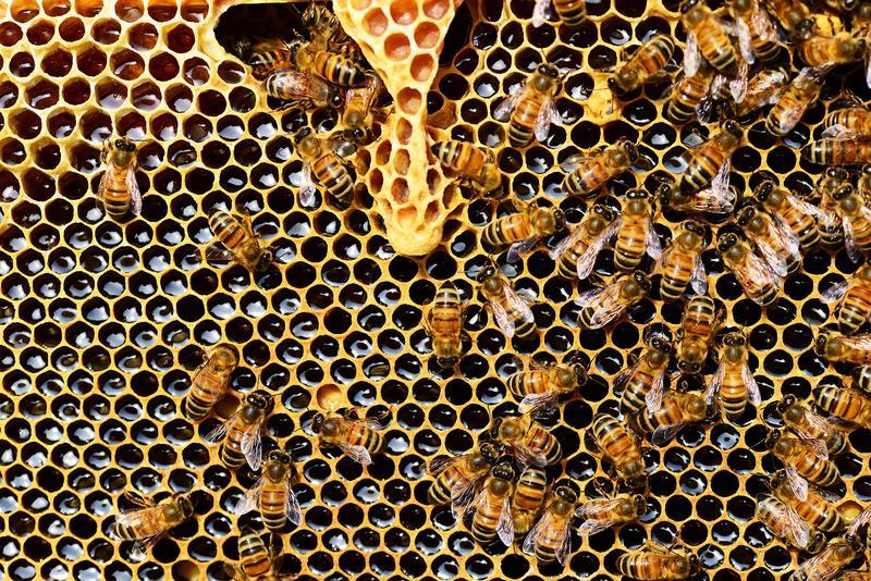 honey bee extinction
