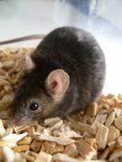 A-MUD will help to understand mouse-vocalisation in an efficient way.