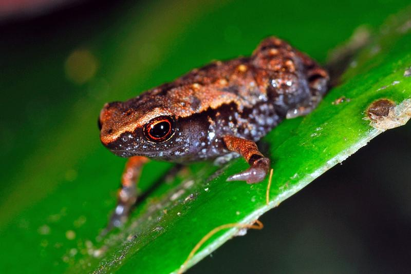 26 new species of miniature frogs from Madagascar.  Two are delightfully obscene.