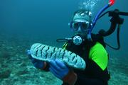 Sea cucumber Stichopus on the Philippines