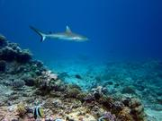 A grey reef shark swims over a reef in a large protected area far from humans.