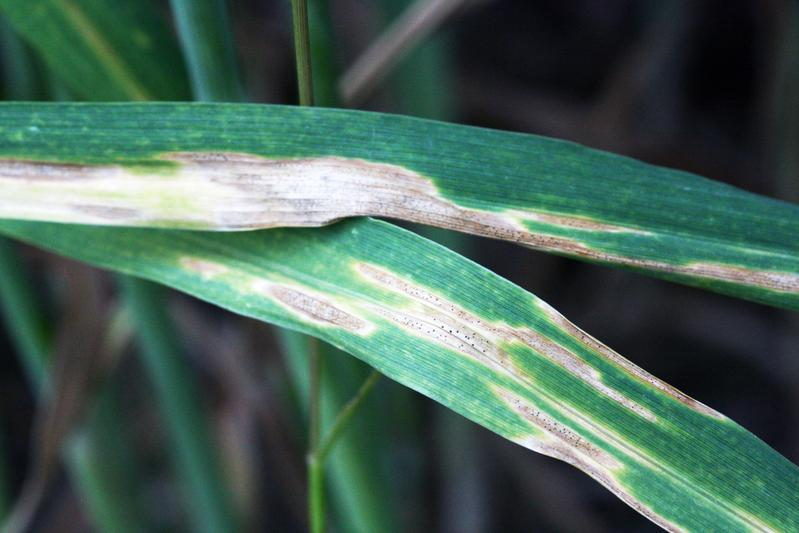 A wheat leaf infested with the fungus Zymoseptoria tritici shows the typical signs of so-called leaf blotch, which can lead to drastic crop failures.