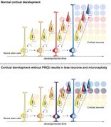Normal cortical development with PRC2 (top) vs. irregular cortical development without PRC2 (bottom). Colors stand for different maturation stages of cortical stem cells and different types of neurons